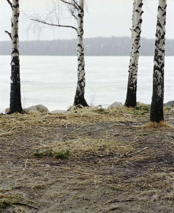 Neljä koivunrunkoa valkoisen järven edessä. Maassa laonneita keltaisia olkia.