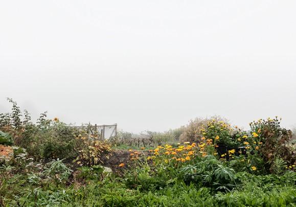 Vehreä niittymaisema, keltaisia kukkia ja lukuisia vihreitä kasveja, utuisenvalkean taivaan alla.