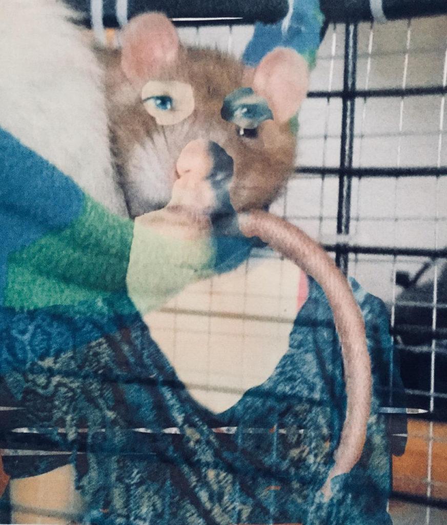 Kollaasi, jossa rotta ja ihmishahmo sekoittuuvat keskenään. Ihminen, jolla rotan kasvot.